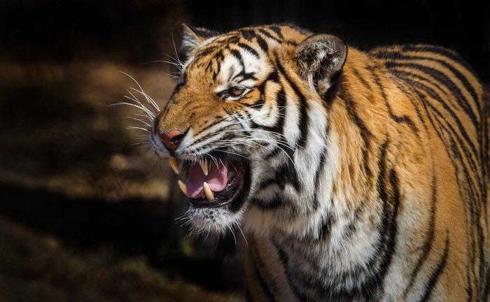 虎の画像 p1_19