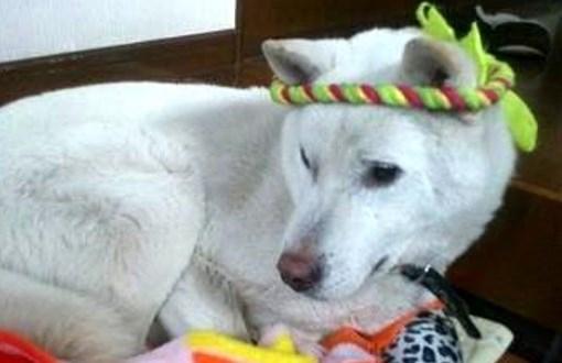 紀州犬の画像 p1_5