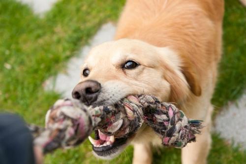 叱られ噛みつく犬