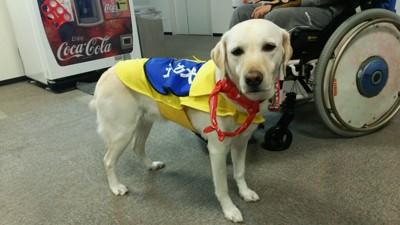 黄色いケープ 介助犬