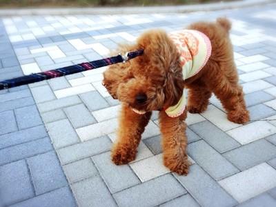 成犬が散歩で歩かない