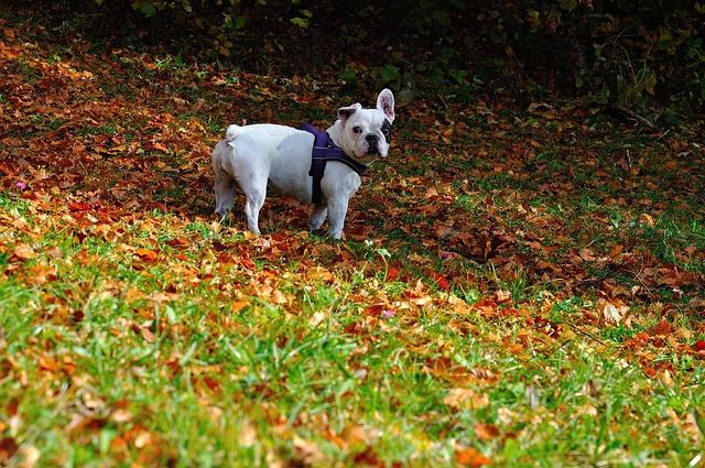 枯れ葉の上のフレンチブルドッグ