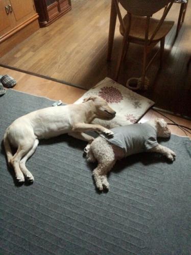 ##若犬との同居で活力が蘇った老犬 ##