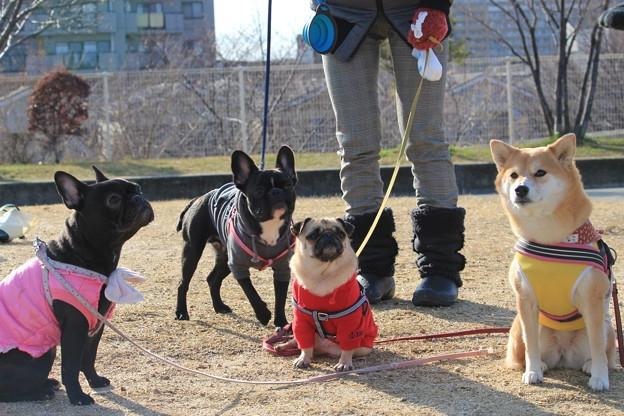 フレンチブルとパグと柴犬の写真