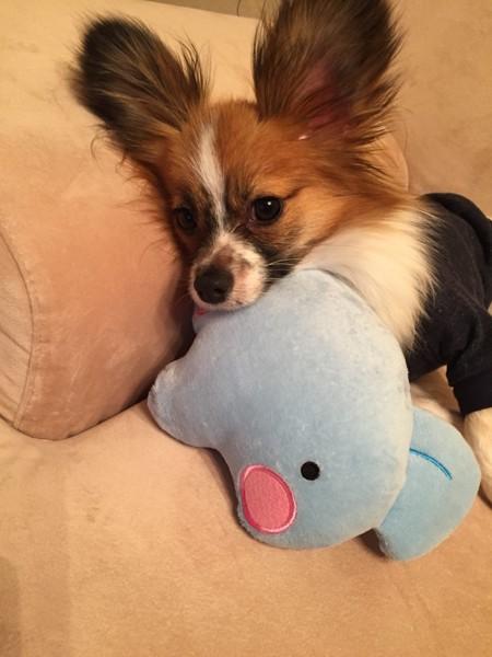 愛犬のココア