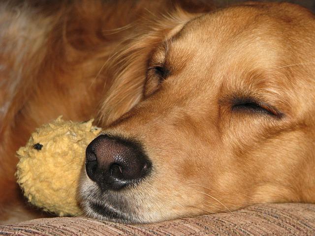 ゆっくり眠る老犬
