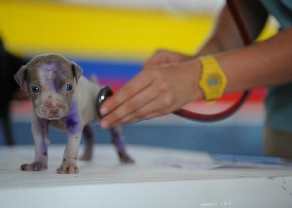聴診器を当てられる仔犬