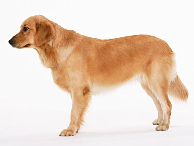 長毛種の犬