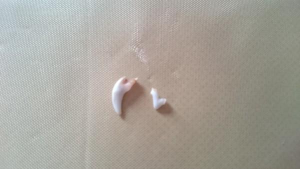抜けた犬の歯