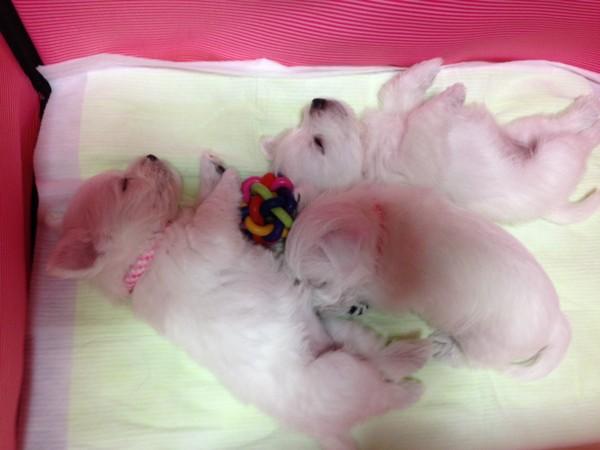 白いパピー3匹 就寝中