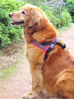 ハーネスを装着した犬