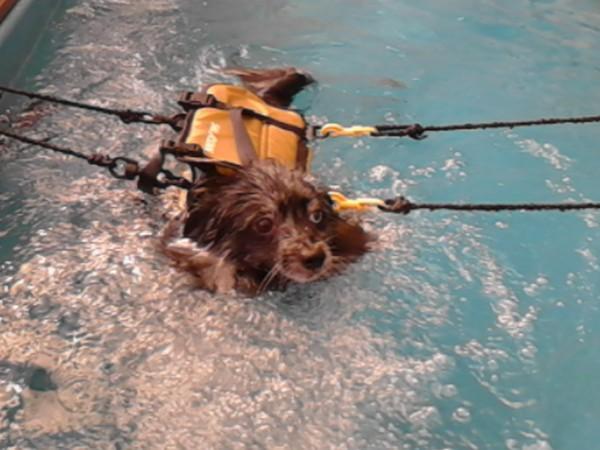 ライフジャケット、命綱付きの犬が泳いでいる