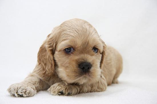 アメリカンコッカースパニエル子犬
