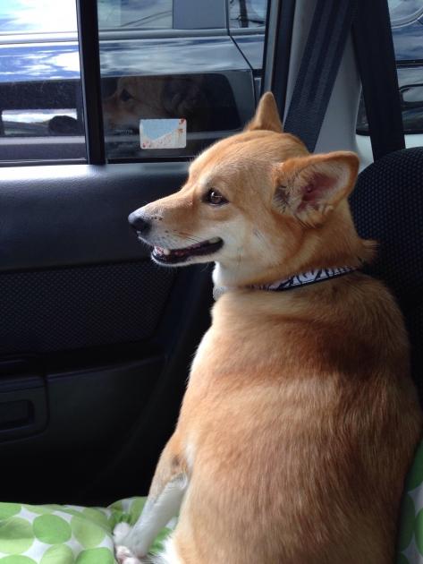 車で安心する犬