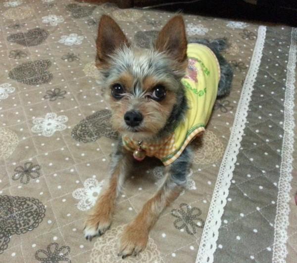 伏せしている黄色い服の犬