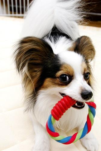 おもちゃを咥えている犬の写真