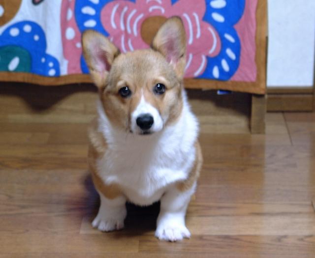 カメラ目線の子犬