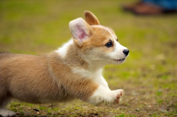 走るコーギーの子犬
