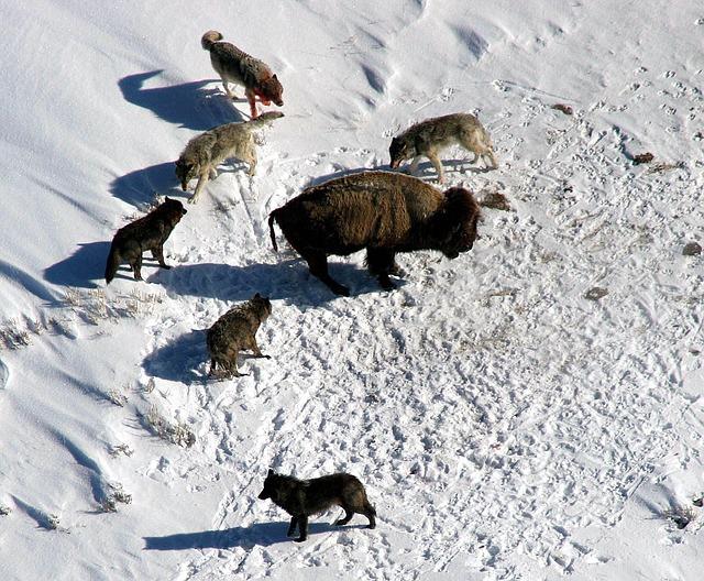 オオカミの群れとバイソン