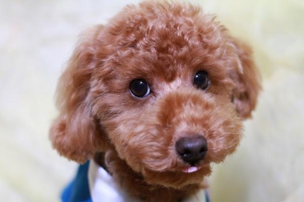 トイプードルの顔写真