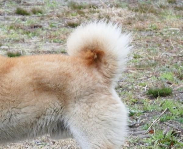 柴犬の尻尾