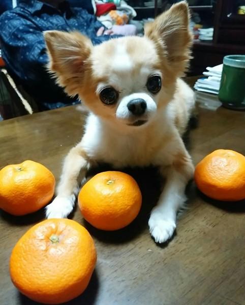 みかんを自分の手の間に置く愛犬