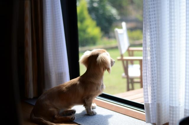 窓を見る犬。外に出たいけど散歩に行けないイメージ