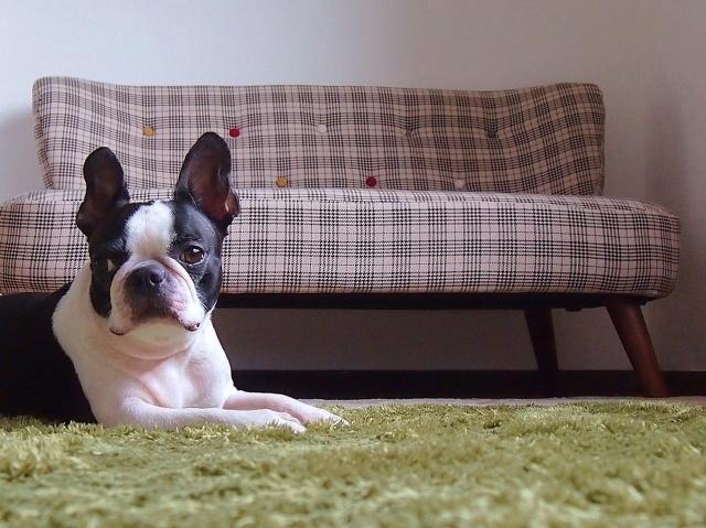 カーペットに座る犬