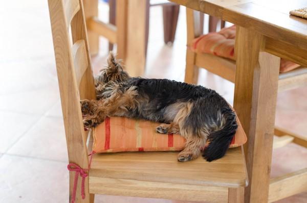 ダイニングの椅子で眠る犬