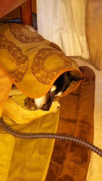 毛布と愛犬