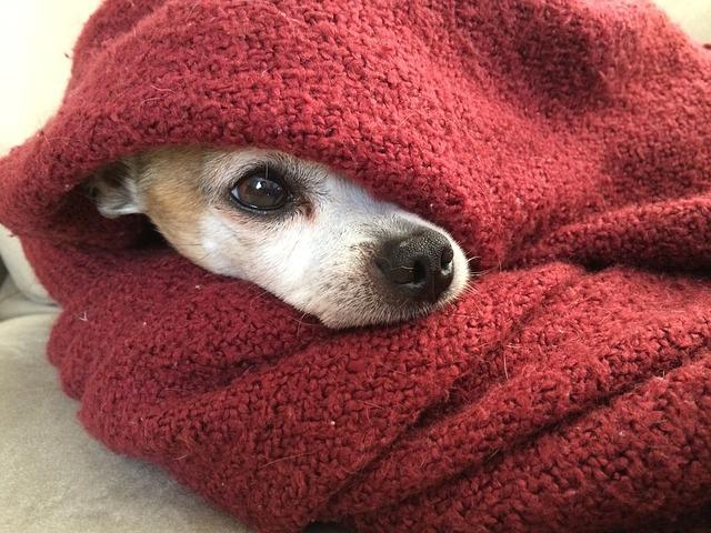毛布にくるまれた犬