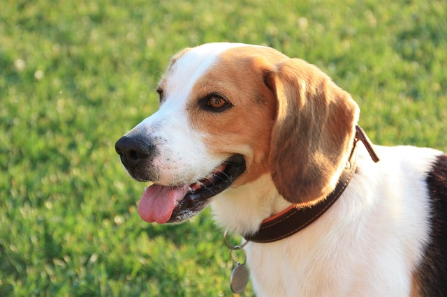 ビーグル犬の性格