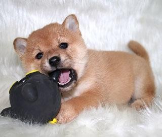 おもちゃを噛んでいる写真