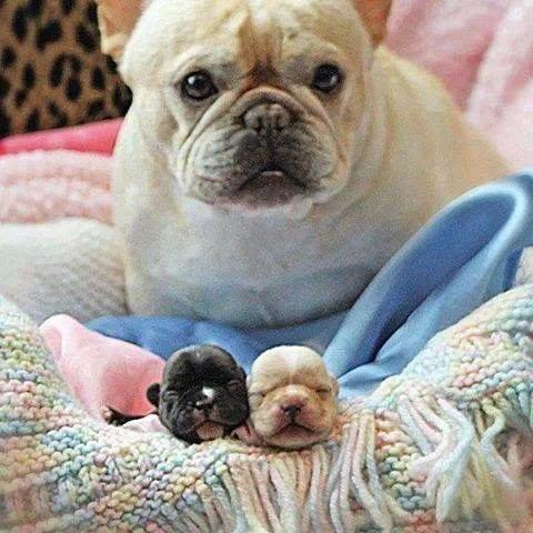仔犬とフレンチブルドッグ