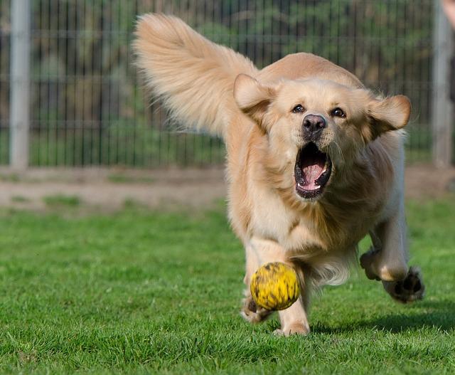 ボールで遊ぶゴールデン