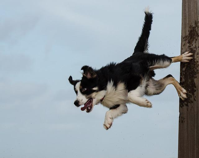 ジャンプするボーダーコリー