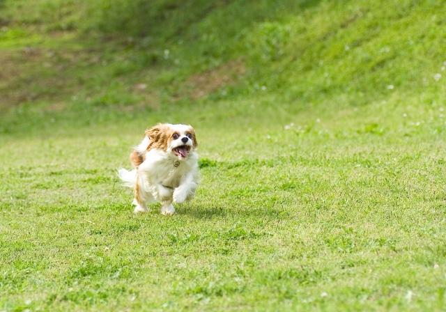 走るキャバリア