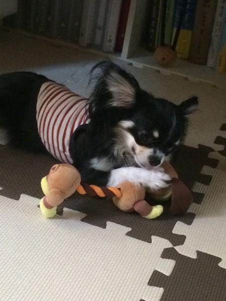 犬が洋服を着て元気に遊んでる様子