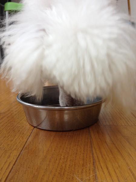 ロイヤルカナンを食べる犬