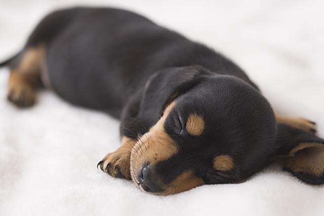 寝ているダックス