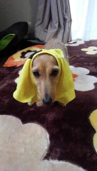 服をかぶった愛犬