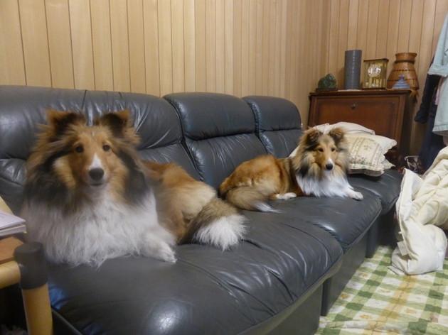 ソファーに座る愛犬達