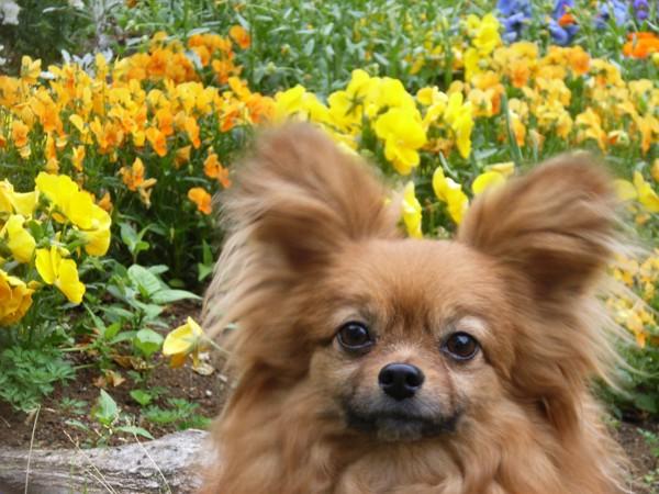 お花をバックにした犬