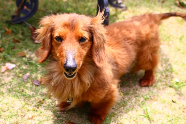 小型犬人気上位のミニチュアダックス