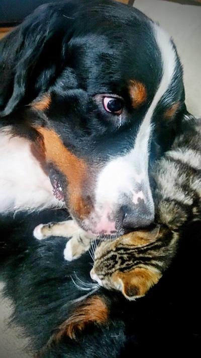 子猫とバーニーズ