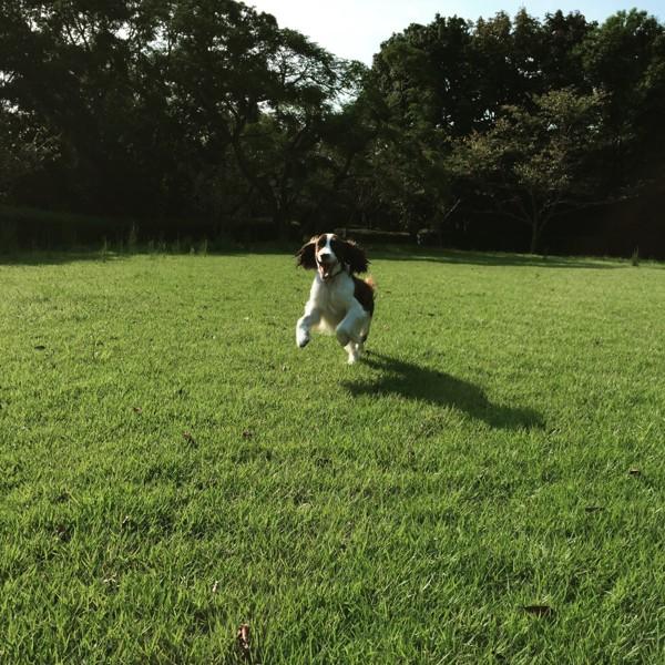 芝生を走っている犬の写真