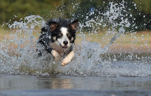 水の上を走るボーダーコリー