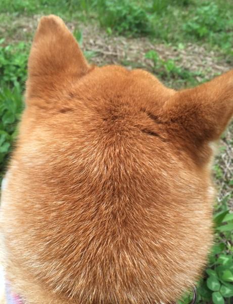 柴犬の耳のアップ