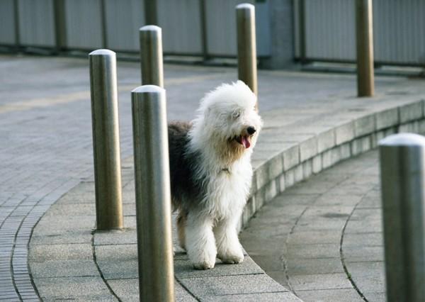散歩中のの大型犬