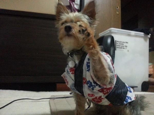 はっぴ姿、手を上げる犬
